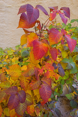 Eastern Poison Ivy (Toxicodendron radicans) in autumn, Colorado Plateau, Utah