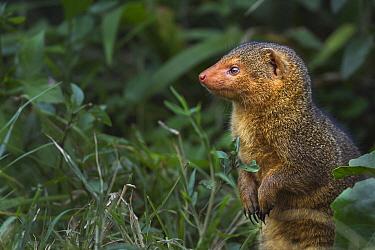 Dwarf Mongoose (Helogale parvula) on alert, Masai Mara, Kenya