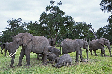 African Elephant (Loxodonta africana) herd surrounding calves, Masai Mara, Kenya