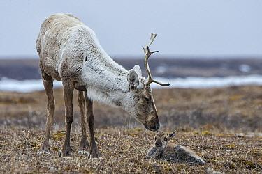 Caribou (Rangifer tarandus) mother and newborn calf, of the porcupine herd, Arctic National Wildlife Refuge, Alaska