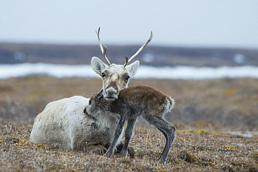 Caribou (Rangifer tarandus) newborn calf nuzzling mother, of the porcupine herd, Arctic National Wildlife Refuge, Alaska
