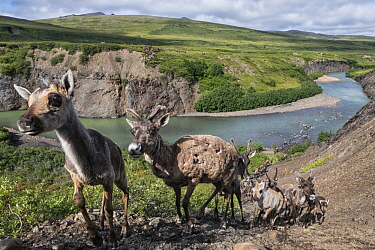 Caribou (Rangifer tarandus) porcupine herd crossing river valley, Yukon, Canada
