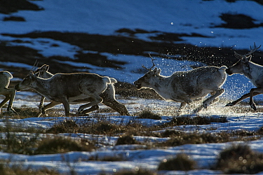 Caribou (Rangifer tarandus) females, of the porcupine herd, running, Yukon, Canada