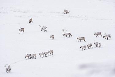Caribou (Rangifer tarandus) porcupine herd in winter near Dempster Highway, Yukon, Canada
