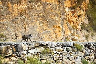 Chacma Baboon (Papio ursinus) on road, Montagu Pass, Western Cape, South Africa