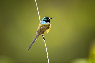Orange-breasted Sunbird (Nectarinia violacea), Montagu Pass, Western Cape, South Africa