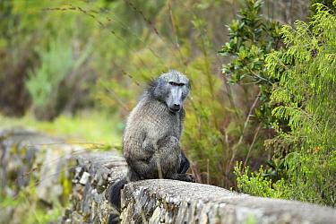 Chacma Baboon (Papio ursinus), Montagu Pass, Western Cape, South Africa