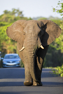 African Elephant (Loxodonta africana) bull on road with safari vehicle, iSimangaliso Wetland Park, KwaZulu-Natal, South Africa