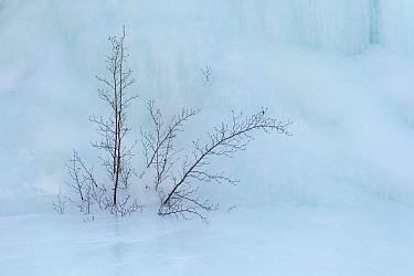 Tree in ice, Putoransky State Nature Reserve, Putorana Plateau, Siberia, Russia