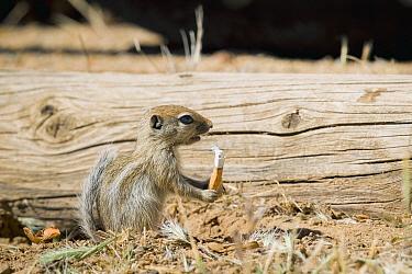 Nelson's Antelope-squirrel (Ammospermophilus nelsoni) juvenile holding cigarette butt, Carrizo Plain National Monument, California