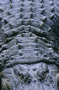American Alligator (Alligator mississippiensis) back showing scutes, Florida