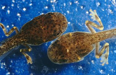 Cayenne Slender-legged Treefrog (Osteocephalus leprieurii) tadpoles, native to South America