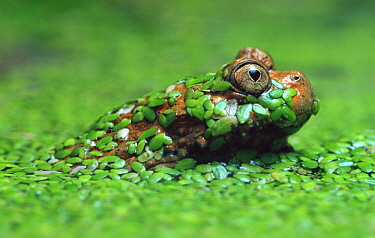 Giant Fire-bellied Toad (Bombina maxima) emerging from pond weed, native to China