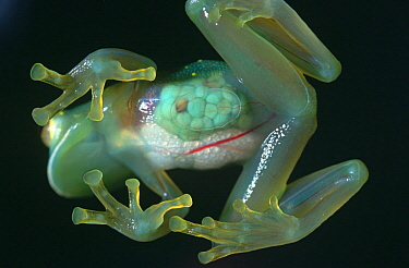 Glass Frog (Cochranella antisthenesi) underside showing internal organs, native to South America