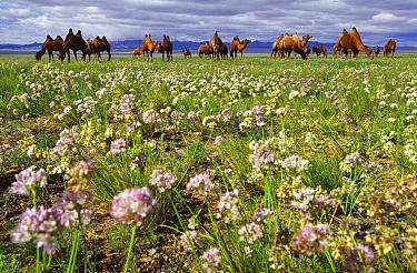 Bactrian Camel (Camelus bactrianus) herd grazing in flowering desert, Gobi Desert, Mongolia