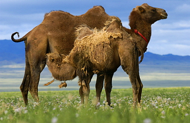 Bactrian Camel (Camelus bactrianus) mother nursing calf, Gobi Desert, Mongolia