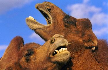 Bactrian Camel (Camelus bactrianus) pair greeting, Gobi Desert, Mongolia