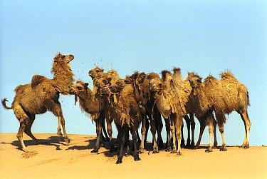 Bactrian Camel (Camelus bactrianus) calves in desert, Gobi Desert, Mongolia