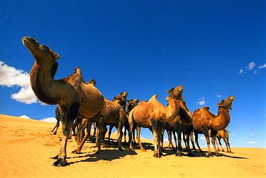 Bactrian Camel (Camelus bactrianus) group in desert, Gobi Desert, Mongolia