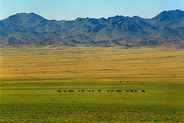 Bactrian Camel (Camelus bactrianus) herd in desert, Gobi Desert, Mongolia