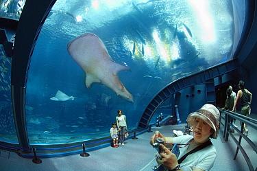 Whale Shark (Rhincodon typus) and aquarium visitors, Okinawa Churaumi Aquarium, Japan
