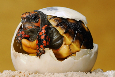 Red-footed Tortoise (Geochelone carbonaria) hatching, native to South America
