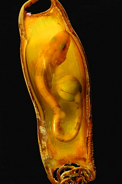 Greater Spotted Dogfish (Scyliorhinus stellaris) embryo in mermaid's purse egg capsule, native to Atlantic and Mediterranean