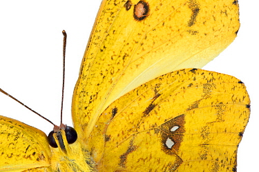 Pierid Butterfly (Phoebis sp), native to Peru