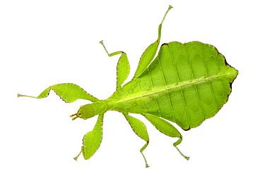 Walking Leaf (Phyllium siccifolium), native to Asia