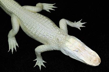 American Alligator (Alligator mississippiensis) albino, Saint Augustine, Florida