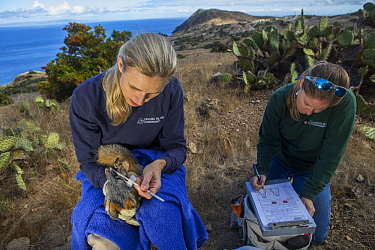 Santa Catalina Island Fox (Urocyon littoralis catalinae) biologists, Julie King and Rebekah Rudy, examining teeth of fox during vaccination and health check up, Santa Catalina Island, Channel Islands,...