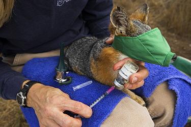 Santa Catalina Island Fox (Urocyon littoralis catalinae) biologist, Julie King, vaccinating fox against canine distemper virus, Santa Catalina Island, Channel Islands, California