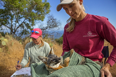Santa Catalina Island Fox (Urocyon littoralis catalinae) biologists, Julie King and Rebekah Rudy, examining fox during vaccination and health check up, Santa Catalina Island, Channel Islands, Californ...