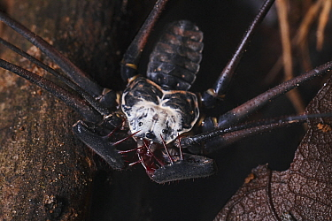 Whip spider, Tambopata Research Center, Peru