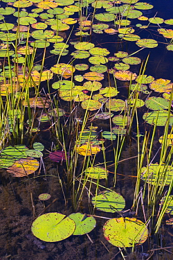 Fragrant Water Lily (Nymphaea odorata) pads on pond, Acadia National Park, Maine