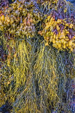 Bladder Wrack (Fucus vesiculosus) in autumn, Acadia National Park, Maine