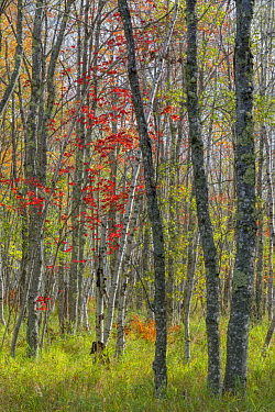 Birch (Betula sp) and Red Maple (Acer rubrum) trees in autumn, Acadia National Park, Maine