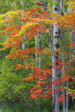 Sugar Maple (Acer saccharum) in autumn, Acadia National Park, Maine