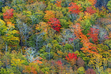 Deciduous forest in autumn, Acadia National Park, Maine