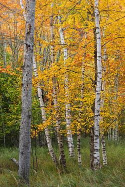 Paper Birch (Betula papyrifera) trees in autumn, Acadia National Park, Maine