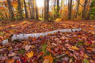 Paper Birch (Betula papyrifera) log and leaves in autumn, Acadia National Park, Maine