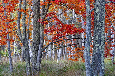 Sugar Maple (Acer saccharum) trees in autumn, Acadia National Park, Maine