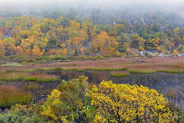 Pond and deciduous forest in fog in autumn, Acadia National Park, Maine