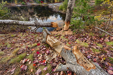 American Beaver (Castor canadensis) chewed trees, Acadia National Park, Maine