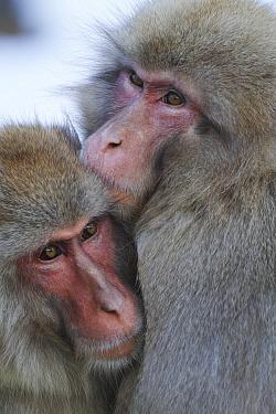 Japanese Macaque (Macaca fuscata) pair huddling, Jigokudani, Nagano, Japan