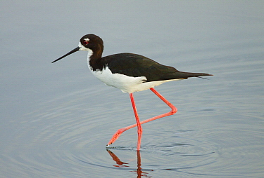 Hawaiian Stilt (Himantopus mexicanus knudseni) wading, Big Island, Hawaii