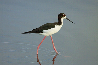 Hawaiian Stilt (Himantopus mexicanus knudseni), Big Island, Hawaii