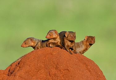 Dwarf Mongoose (Helogale parvula) group on termite mound, Tsavo East National Park, Kenya