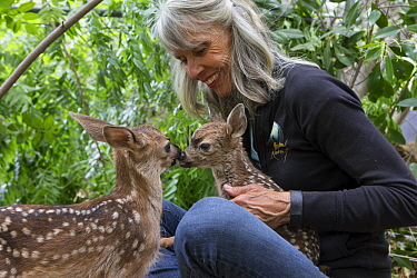 Mule Deer (Odocoileus hemionus) conservationist, Diane Nicholas, holding scared three day old orphaned fawn, while greeting from sibling fawn provides comfort, Kindred Spirits Fawn Rescue, Loomis, Cal...