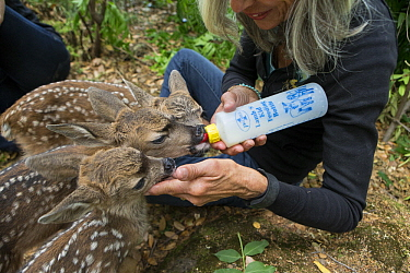 Mule Deer (Odocoileus hemionus) conservationist, Diane Nicholas, bottle feeding three day old orphaned fawns, Kindred Spirits Fawn Rescue, Loomis, California